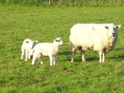 Texel Mule cross sheep